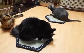 猫ほいほい畳