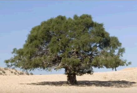 アルガンの木